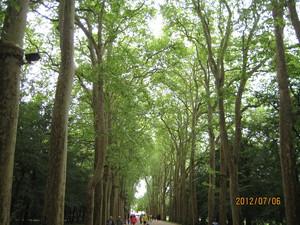 シュノンソー城プラタナス並木